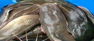 How to start catfish farming business in Nigeria