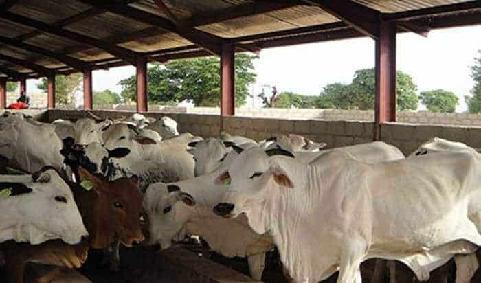 How to a start Cattle farming business in Nigeria