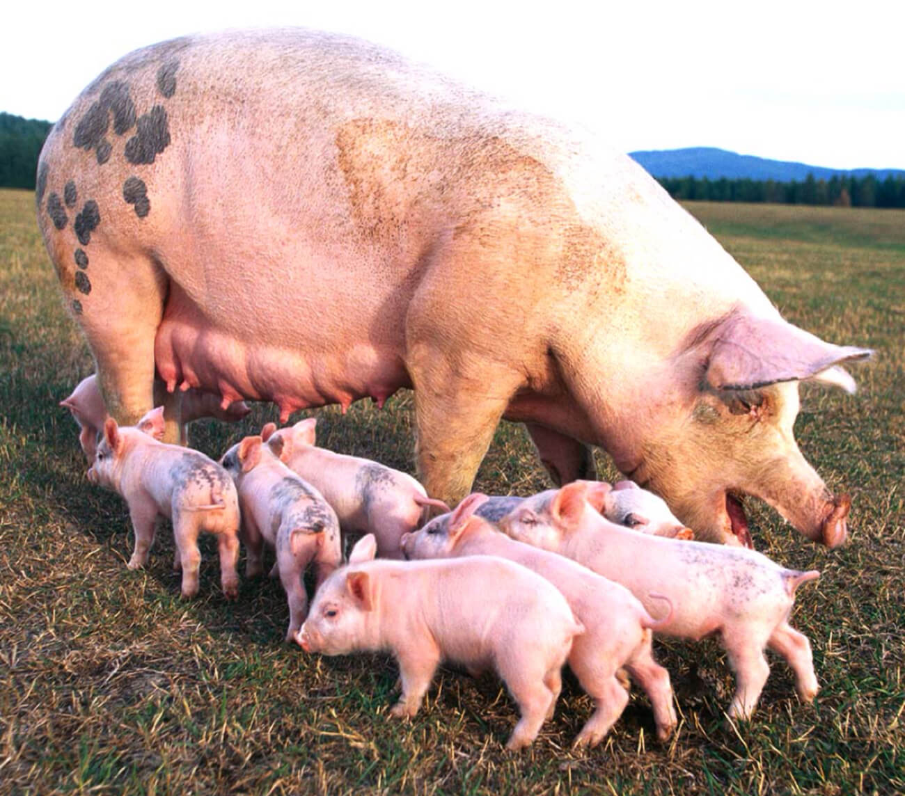 pig farming business in Nigeria