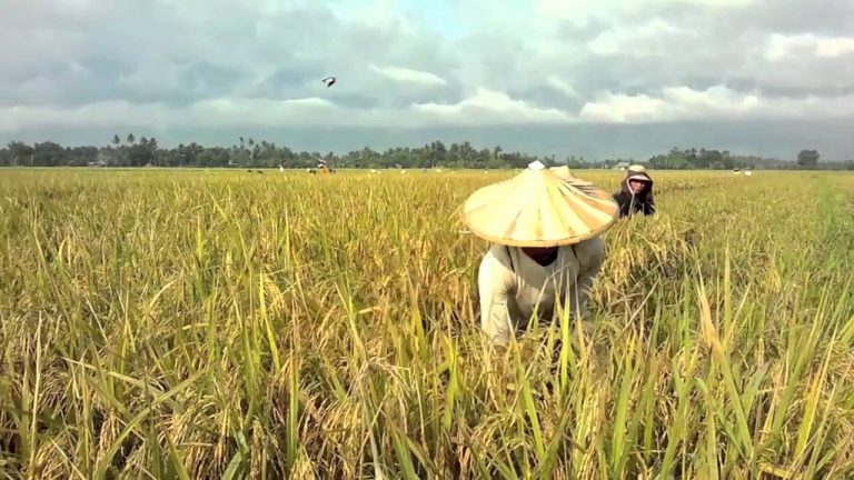 How to start rice farming in Nigeria