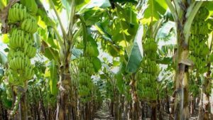 plantain farming business
