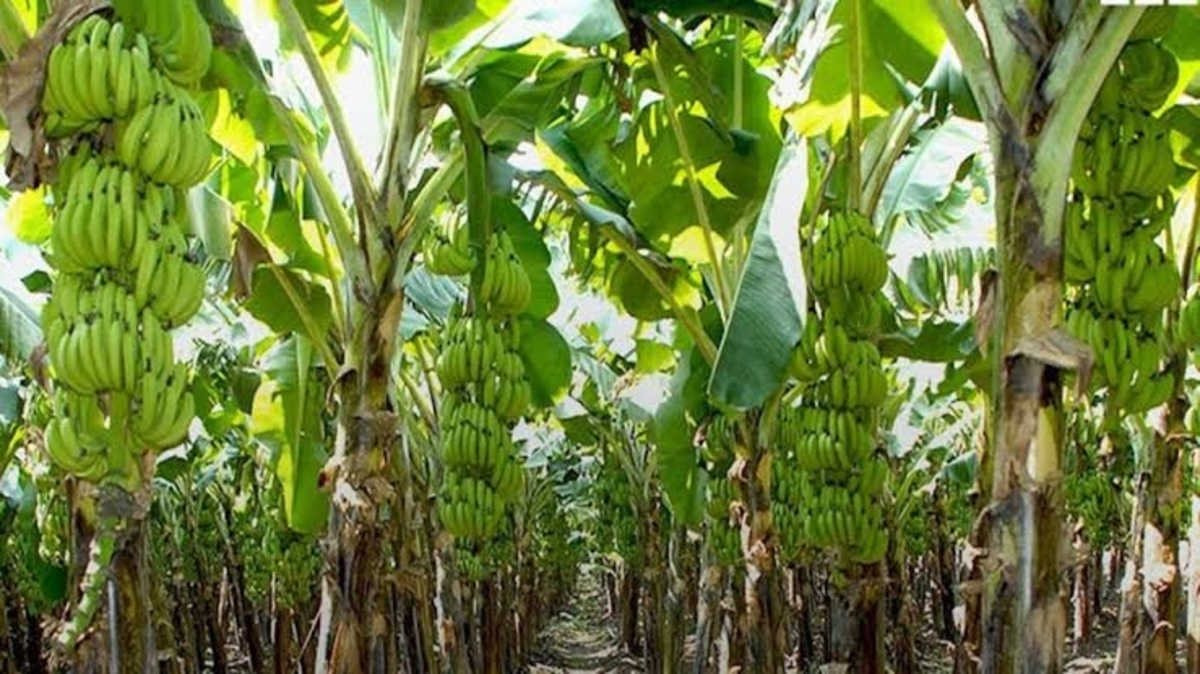 plantain farming business