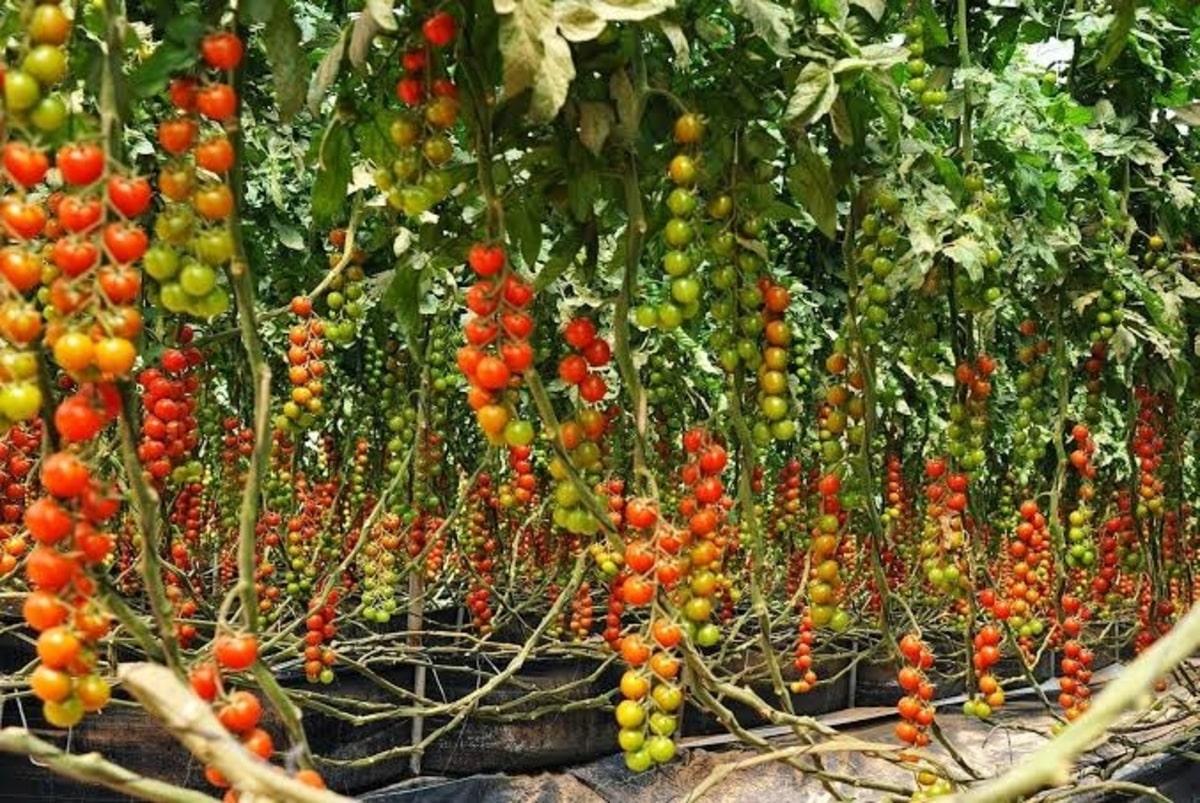 Tomato farming business